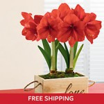 red-lion-amaryllis-plant-gift